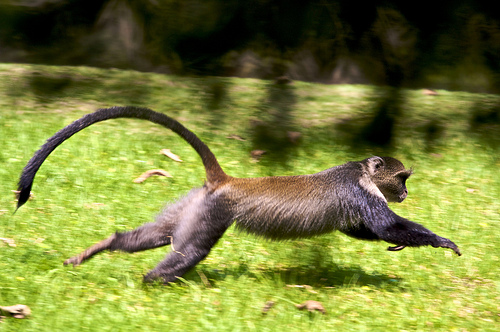 running monkey from Simon English flickr.com