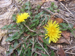Dandy Lyons, one great little weed, it looks ugly in the lawn, and yet has some wonderful attributes.