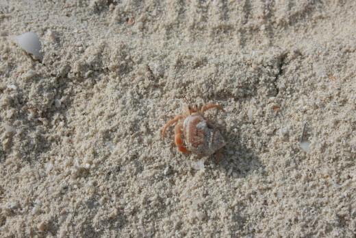 When given the right care, hermit crabs can be entertaining little pets