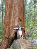 Giant Sequoias: As Big As It Gets
