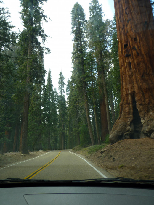 That tree has likely outlived the road next to it by a thousand years or more.