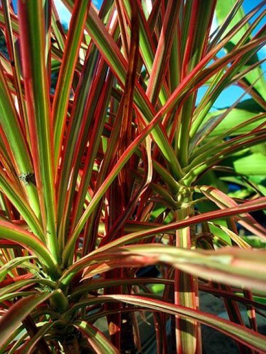 Red Edged Dracena