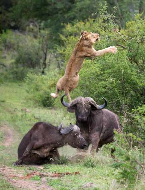 Bull Buffalo saving a calf