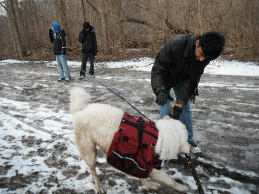 Teenagers are more surefooted to play a game of tug of war with a great white dog on slippery snowy ground.