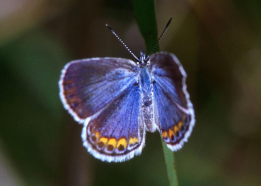 The endangered Kamar blue butterfly is found in Indiana Dunes