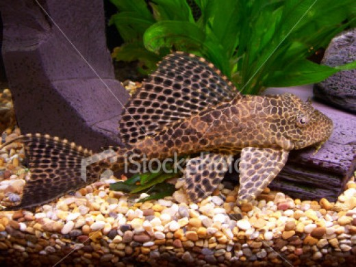 How big does a plecostomus get pethelpful for Pleco fish food