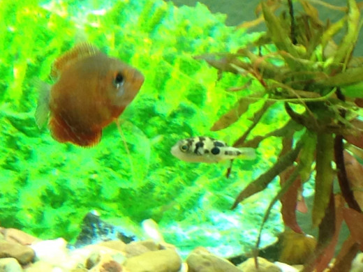 Popular home aquarium fish indian dwarf puffers hubpages for Puffer fish aquarium