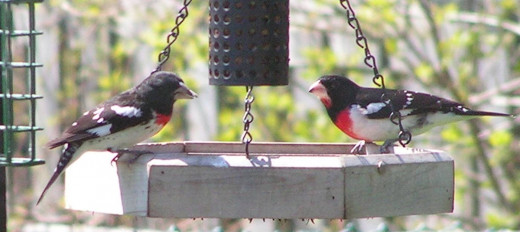 Two Rose-breasted Grosbeaks at feeder