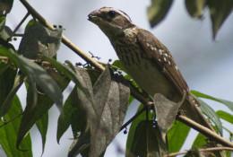 Female feeding on Muntingia calabura (Capulín) fruits.