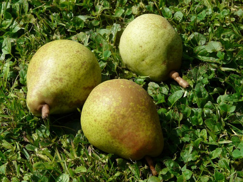 Pears are a popular fall fruit, but we can find them in supermarkets all year long.