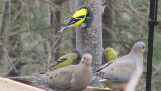 Goldfinches and Mourning Doves visiting some of my backyard bird feeders.