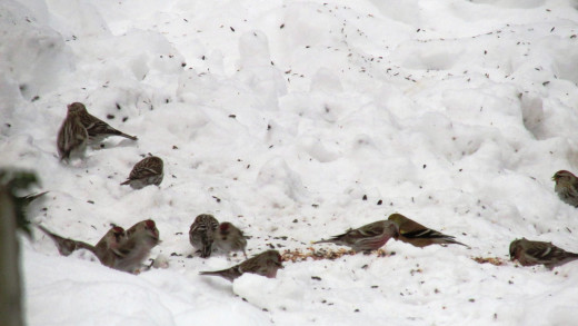 One of the many flocks of Redpolls I happily observed and reported during the GBBC.