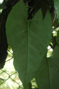 Leaf of the Fo-Ti plant