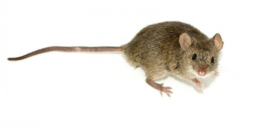 The common house mouse familiar to humans all around the world.