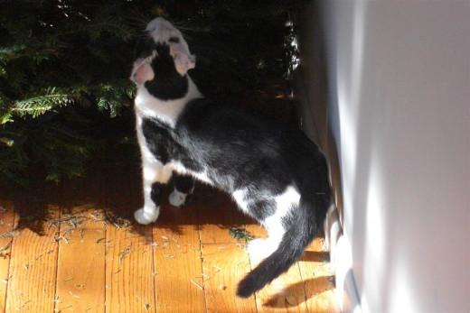 Pinto doing a job on the Christmas tree . . .