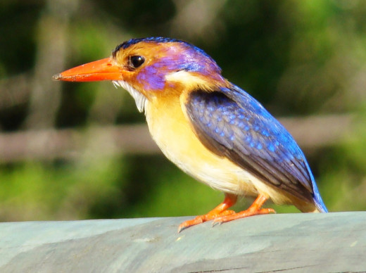 The Pygmy Kingfisher-notice the blue crown does not reach the eye line