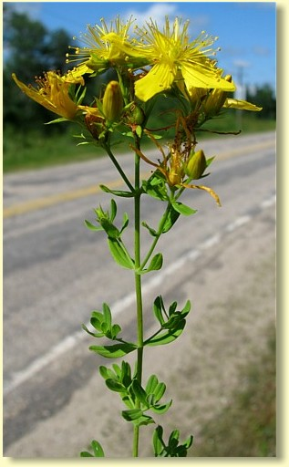 A perennial herb commonly used for the treatment of depression.