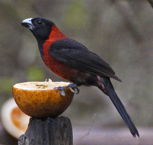 Crimson-collared Grosbeak Rhodothraupis celaeno
