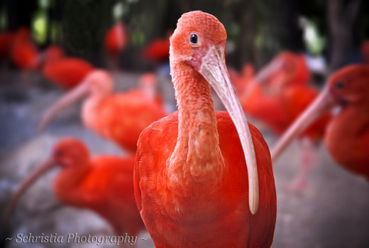 The unbelievable Scarlet Ibis occurs in muddy banks, flats, and mangrove channels on Margarita