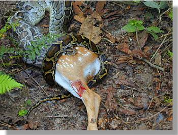 African Boa having a meal