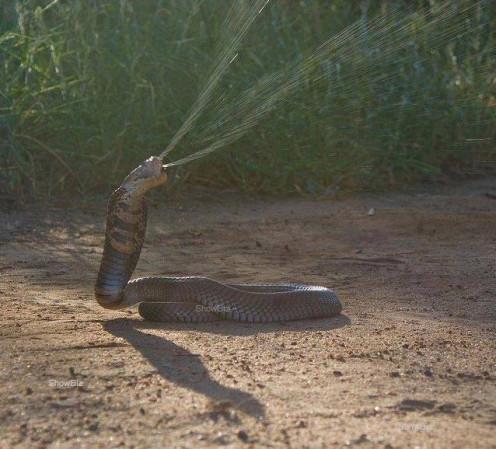 Spitting Cobra