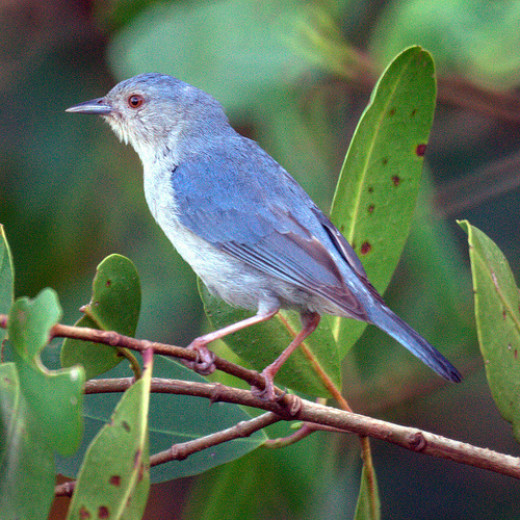 Bicolored Conebill is a specialty of the Restinga mangroves