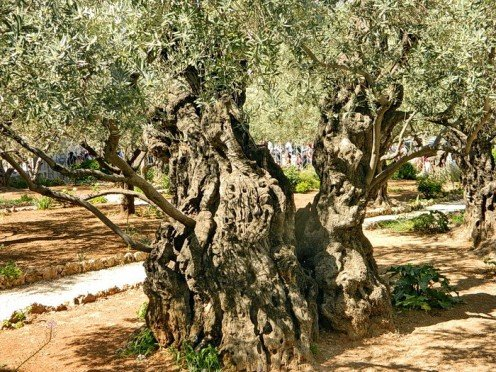 Age old Olive trees in the garden of Gethsemane