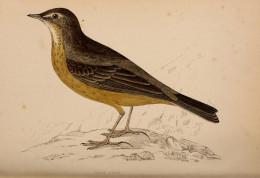Morrison-- History of British Birds { 1862-67}