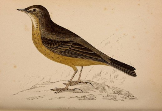 Morrison-- History of British Birds { 1862-67}