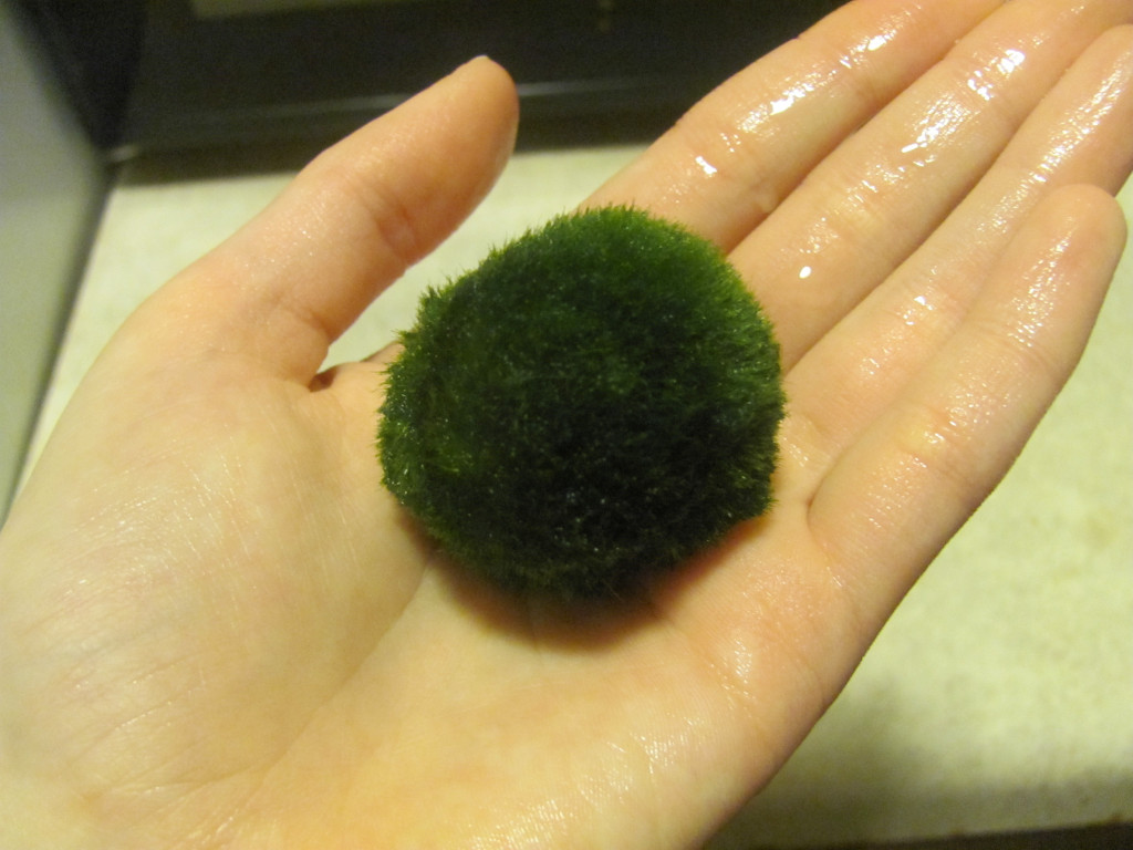 Benefits Of The Marimo Moss Ball