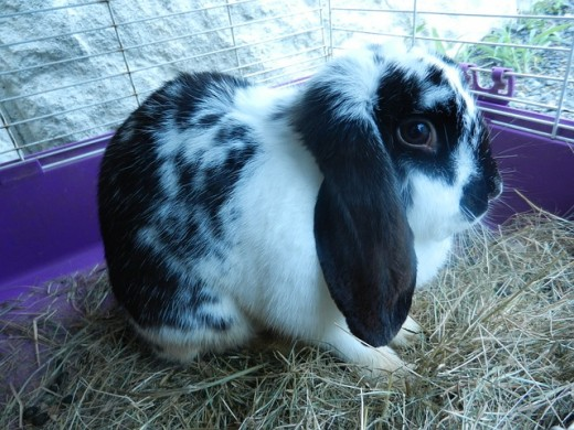 Once your bunny rabbit has recovered from their abscess, always keep a check on them in the future in case of another occurrence.