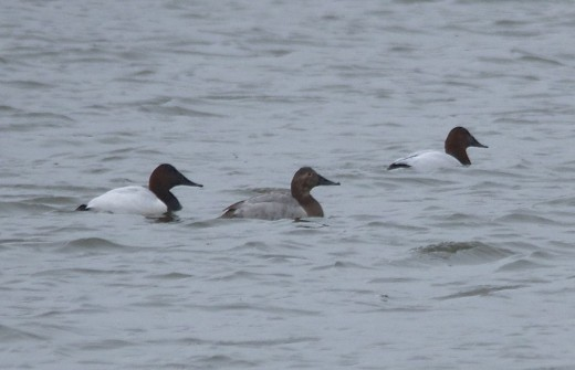 Canvasbacks(male on left)