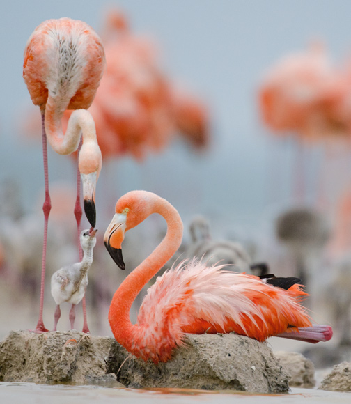 Greater Flamingos with Young