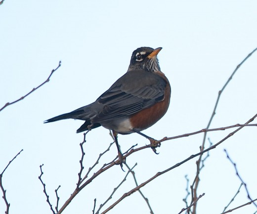 American Robin, first light