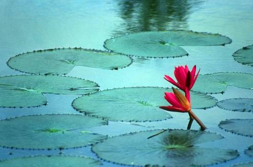 water Lily, Bangladesh