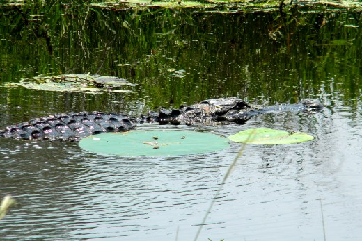 An alligator swimming through a canal in southwest Louisiana.