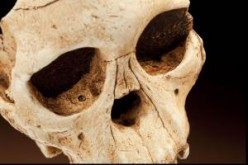 Close-up of the Taung child's skull, showing puncture marks from eagle talons in the eye sockets.