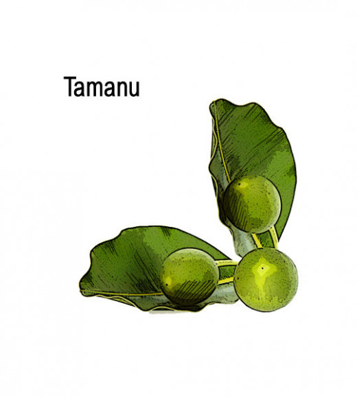 Tamanu oil comes from the nut of the tamanu tree, which is indigenous to tropical regions, like Tahiti.