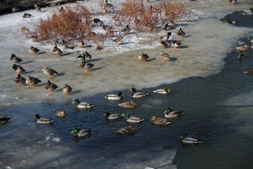 A flock of ducks over a rapidly freezing pond.