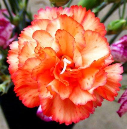 Tangerine Tickle Carnation Seeds Flower Seeds Dianthus