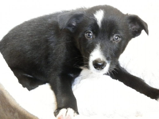 Keil the border collie puppy