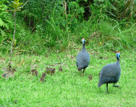 Helmeted Guinea fowl family -Nahoon Nature Reserve
