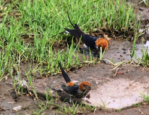 Lesser-striped Swallows collecting mud for nest