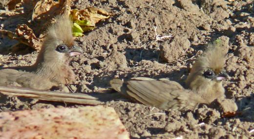Mouse Bird -Dust bath