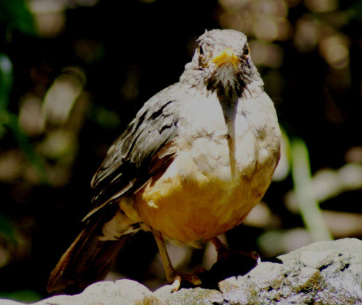 Olive Thrush, common visitor to our garden