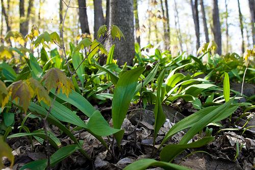 Ramp or wild leek plant