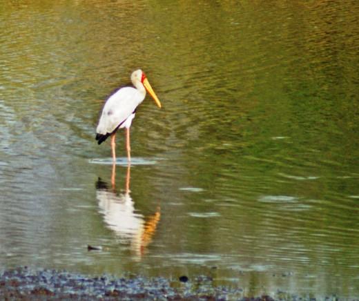 Yellow-billed Stork-a big tick at Cefane