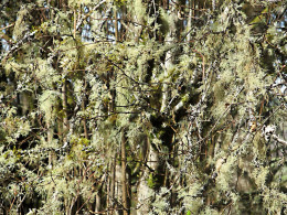 A dense growth of hanging lichens