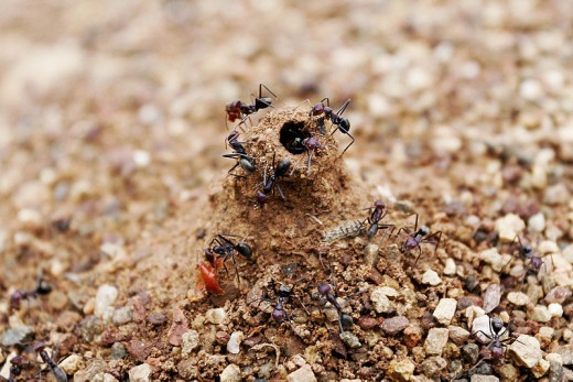 Ants can be a nuisance but demonstrate strong team work.