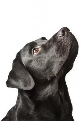 The dog black labrador from Dmitry Baevskiy flickr.com